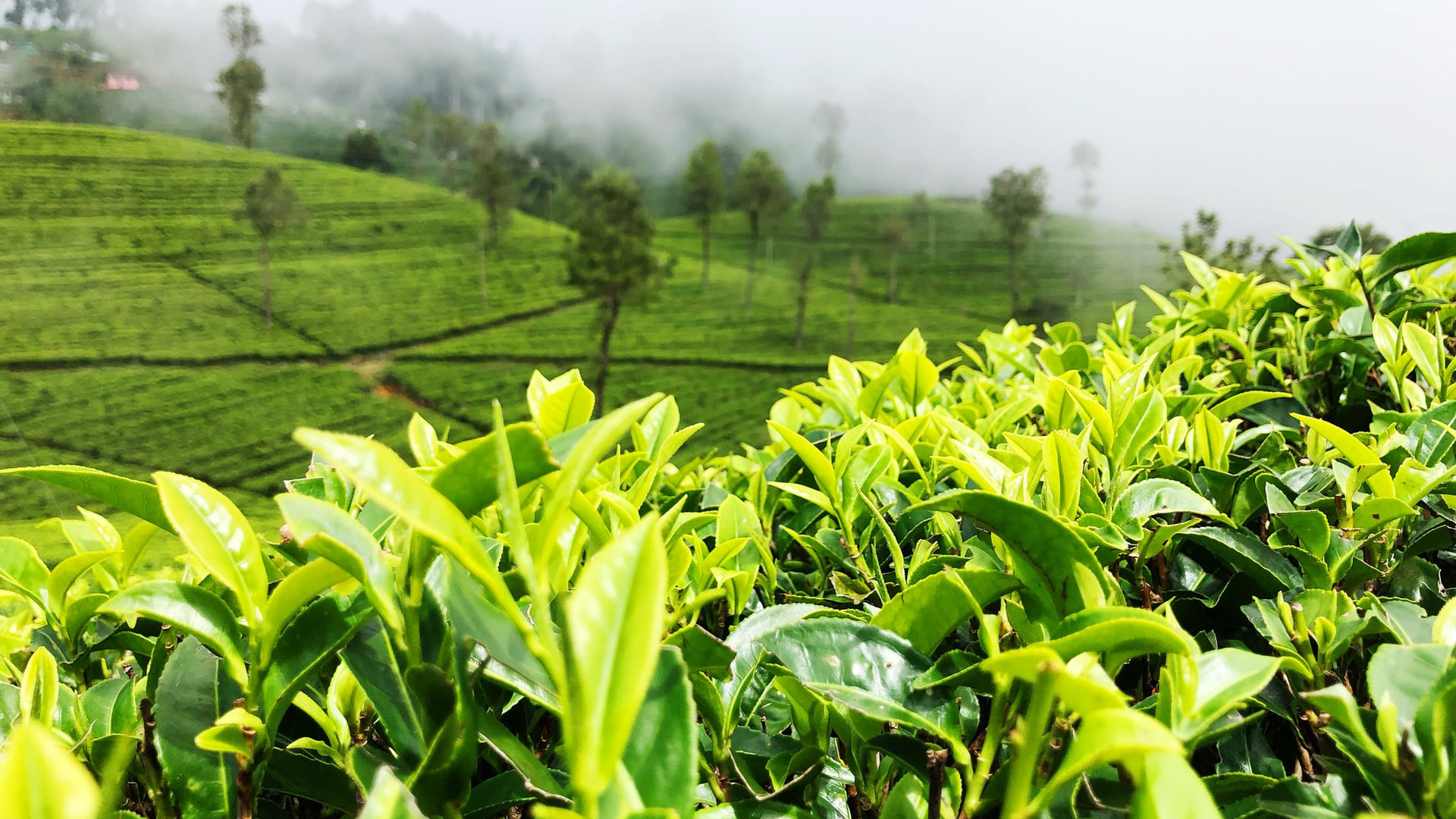 green tea field with smog rolling in